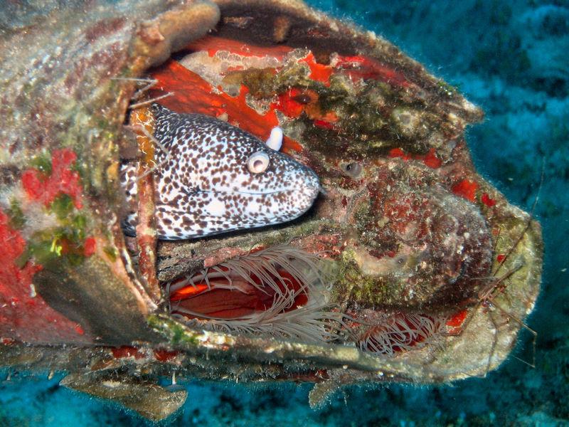 Murène tachetée Bahamas