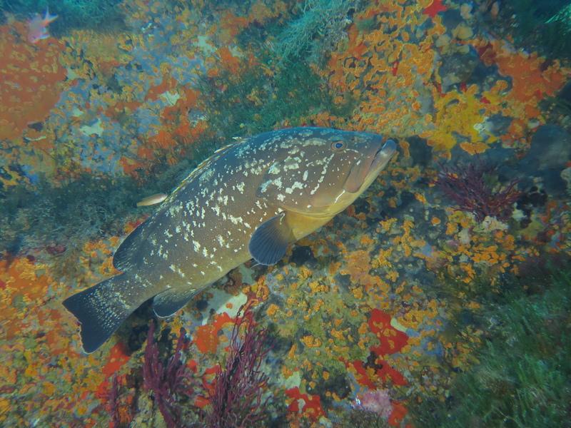 Mérou brun Port Cros