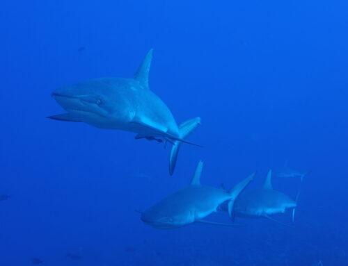 """Cycle 2013 de la Maison des Océans : """"requins, au-delà du malentendu"""""""