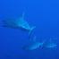 Requins gris passe de Fakarava en Polynésie