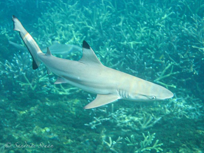 Requin pointe noire Malaisie