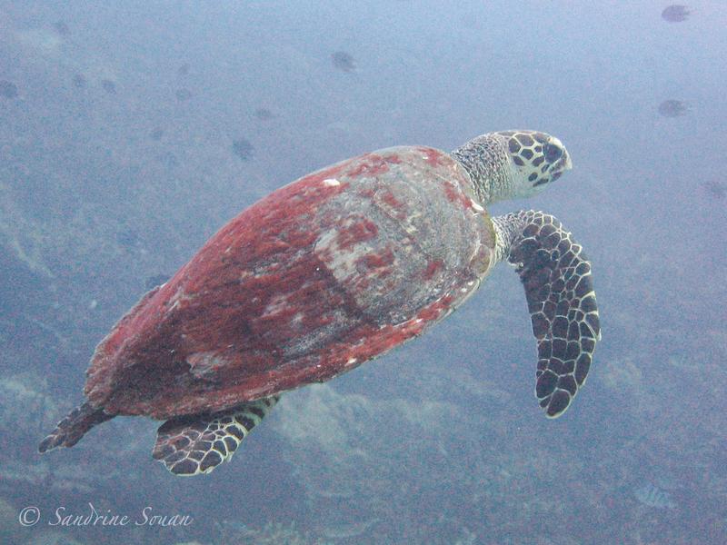 Tortue marine Pulau Redang