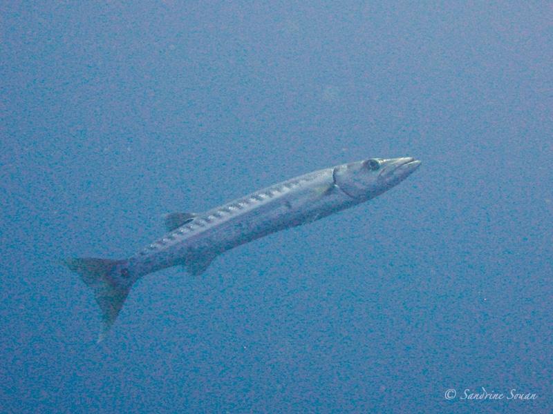 Barracuda au Belize