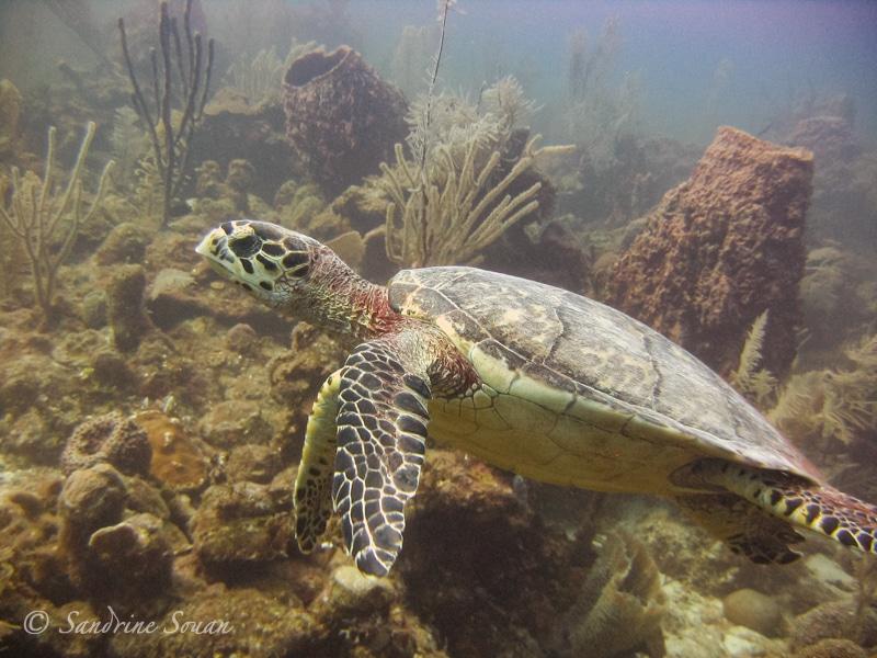 Tortue sur le récif au Belize