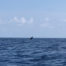 dauphin en Indonésie