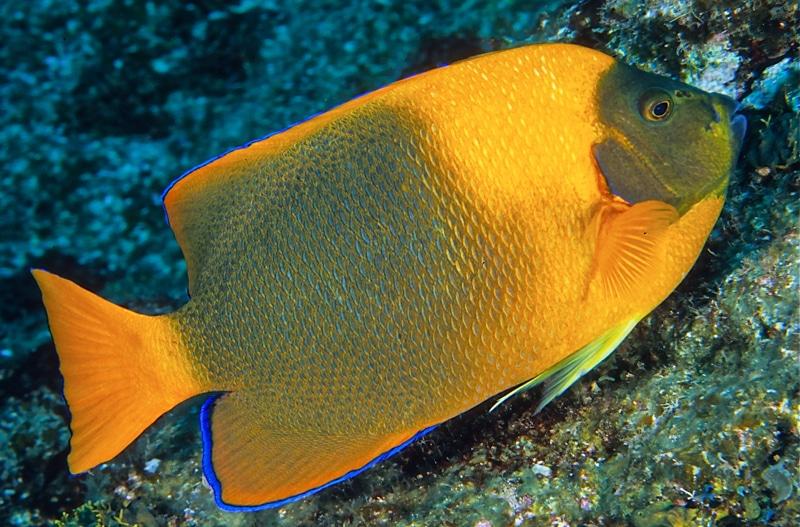 poisson ange de Clarión