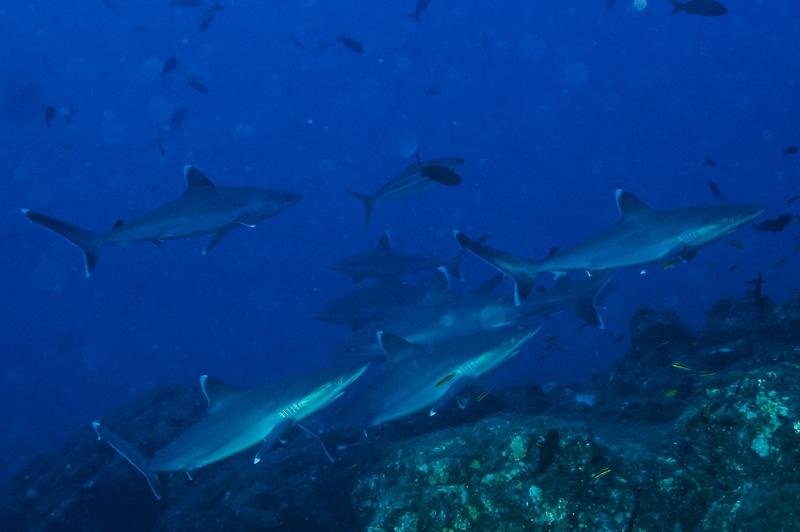 Requins pointes blanches de récif