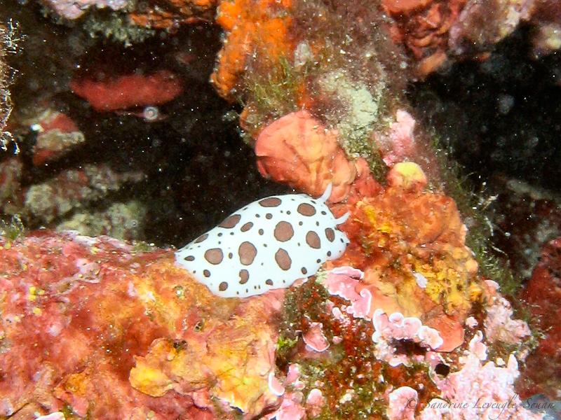 Plongées Antibes doris dalmatien