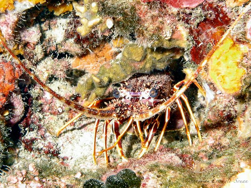 Plongées Antibes langouste