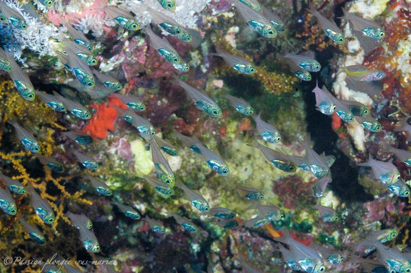 glassfish mer rouge