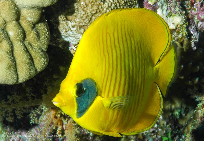 poisson papillon mer rouge