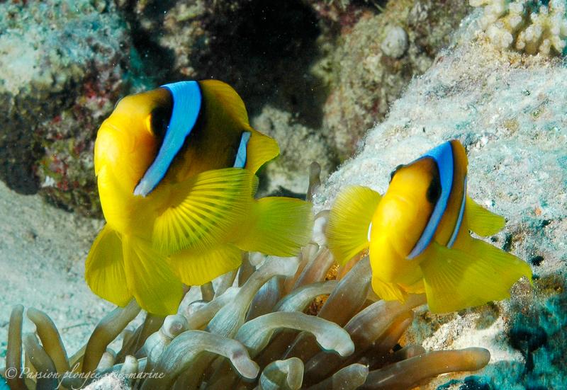 poissons-clowns mer rouge Egypte