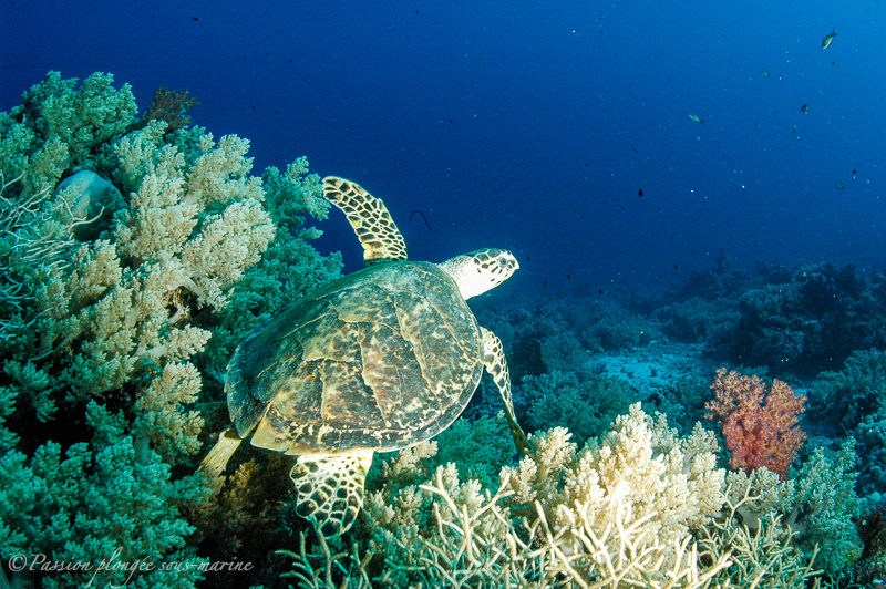 tortue mer rouge