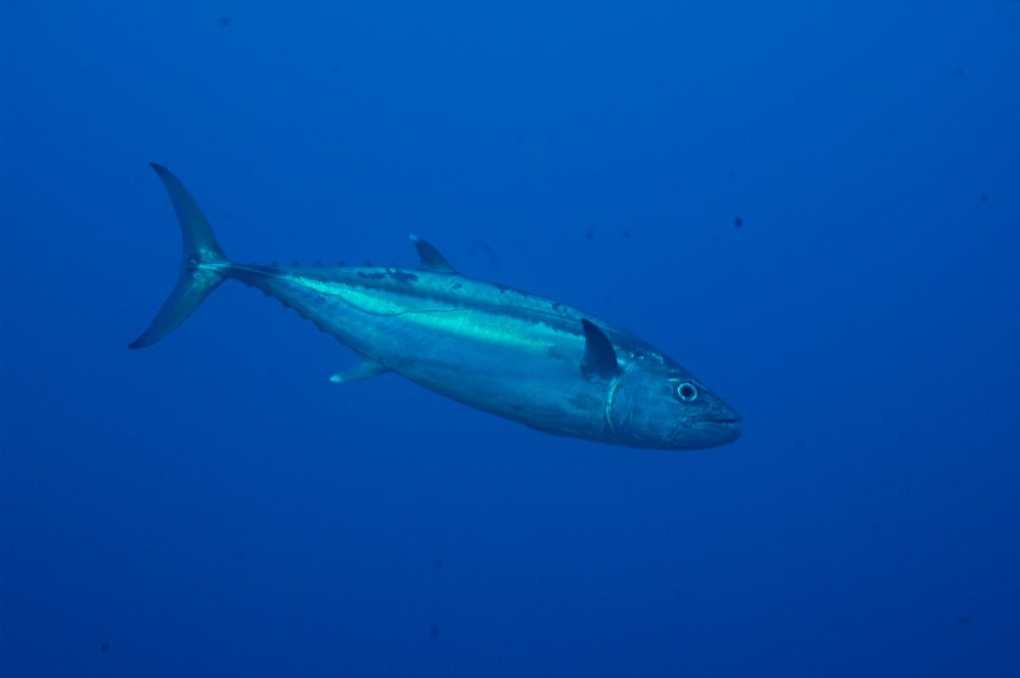 Photos sous-marines réalisées en février 2009 : raies manta, requins, napoléons, bancs de poissons... Appareil photo : Nikon D70, caisson Subal.