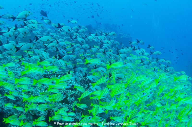 Grands bancs de poissons aux Maldives