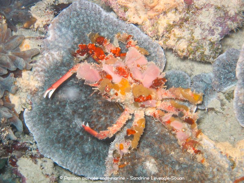 Crabe Visayas Philippines