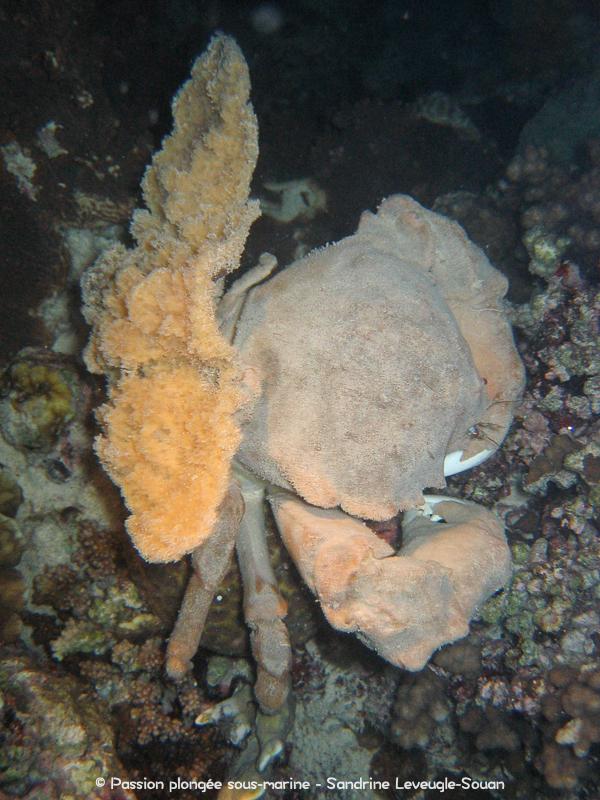 Crabe-éponge Visayas Philippines
