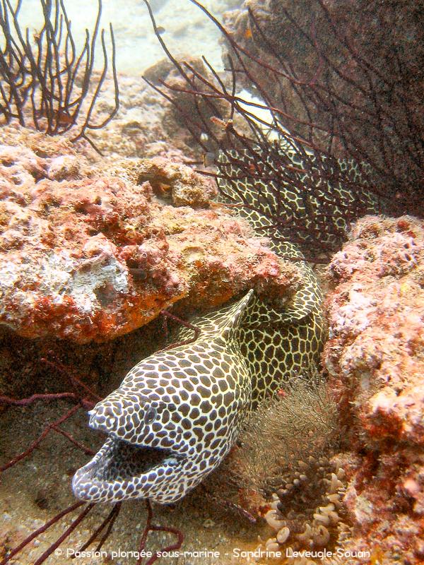 murène léopard Oman