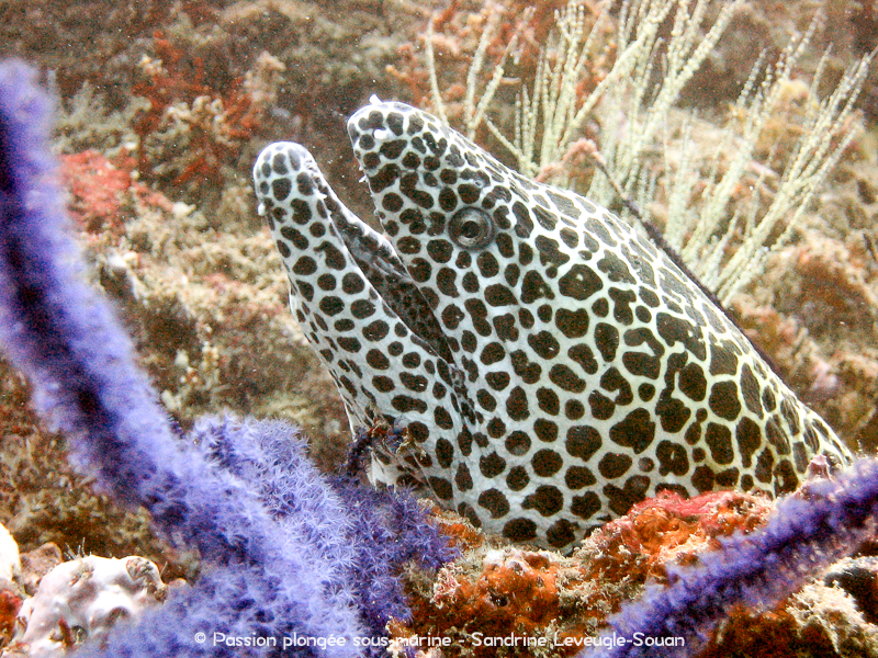 Murène et corail violet Oman
