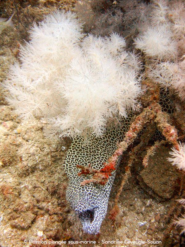 Murène léopard et corail noir Oman