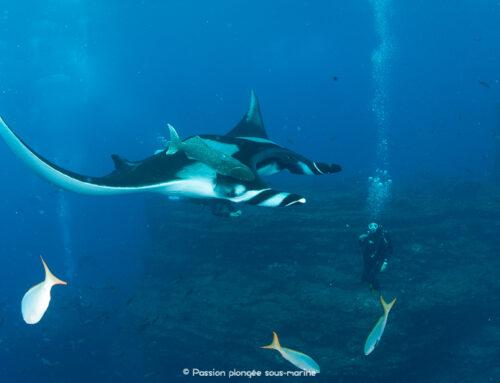 Croisière plongée à Socorro : à la rencontre des raies-mantas géantes