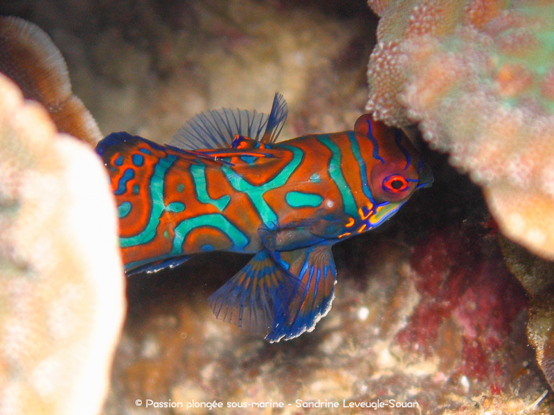 Poisson mandarin Visayas Philippines