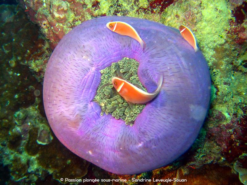 Poissons-clowns anémone violette Visayas Philippines