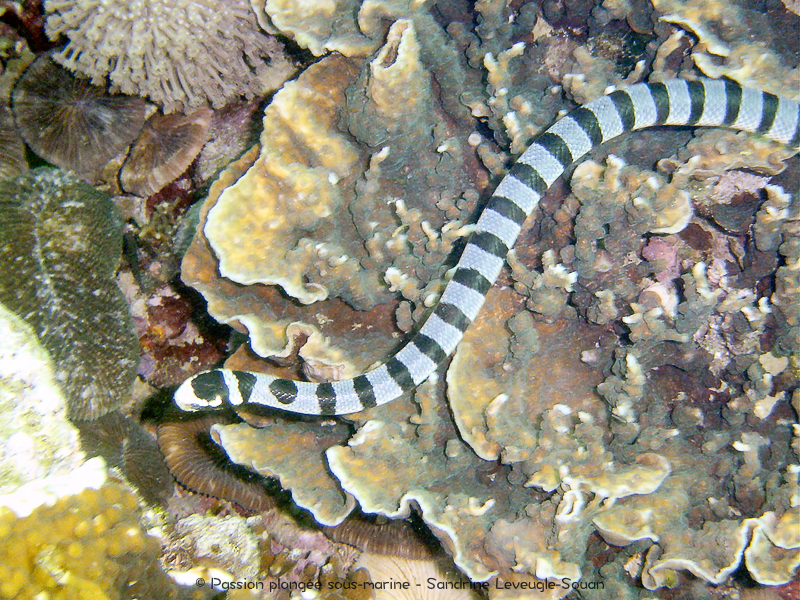 Serpent de mer - Laticauda colubrina - Visayas Philippines