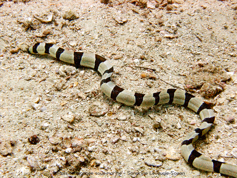 Serpent marin Oman