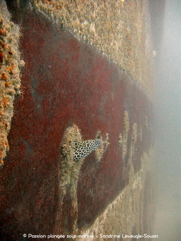 murène épave Al Munassir Oman