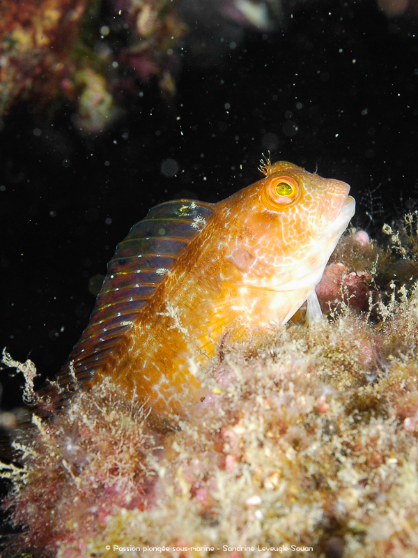 Blennie pilicorne - Parablennius pilicornis - Costa Brava