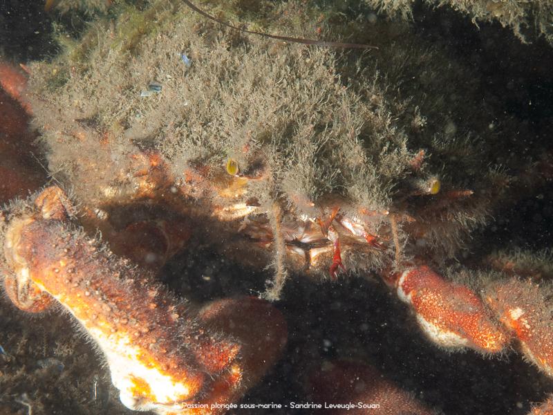 araignée de mer bassin arcachon