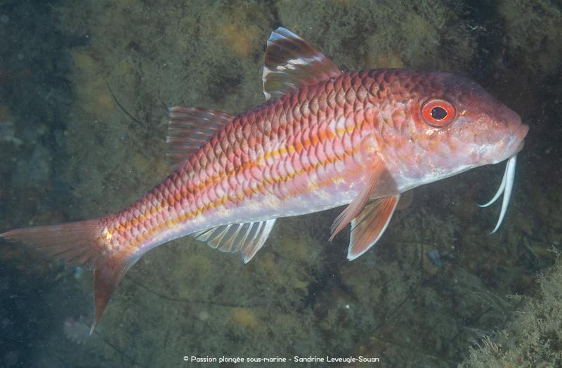 rouget-barbet bassin d'arcachon