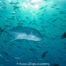 Carangue plongée Komodo