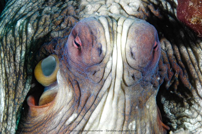 Pieuvre Komodo