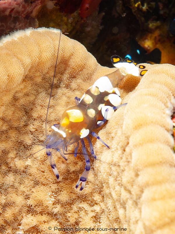 crevette queue de paon plongée Komodo