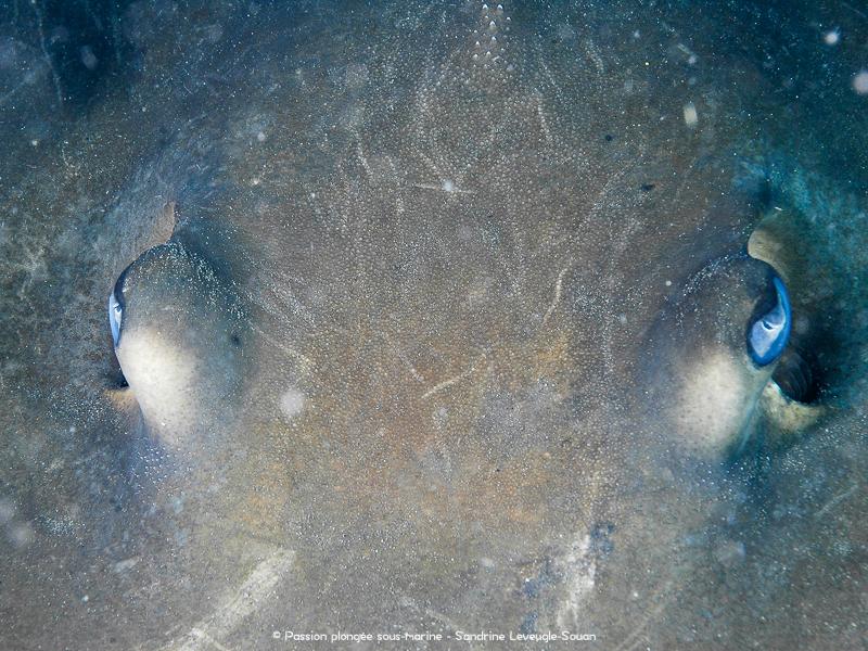 gros plan raie pastenague Komodo