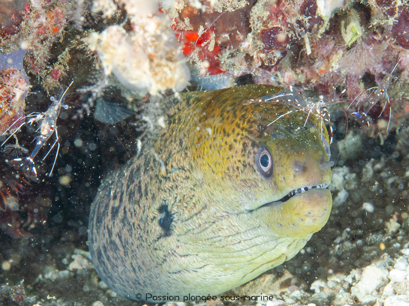 murène et crevette plongée Komodo