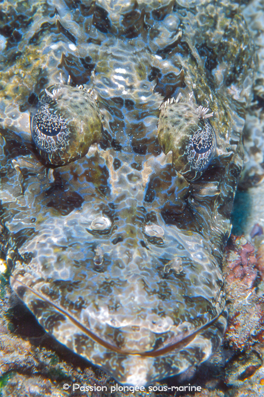 poisson-crocodile plongée Komodo