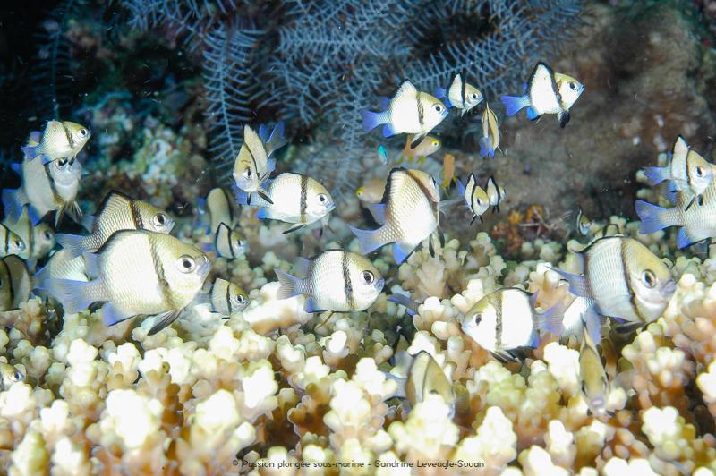 poisson et corail Komodo