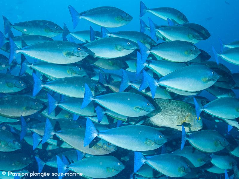poissons chirurgiens plongée Komodo