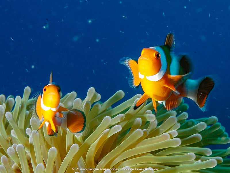 poissons-clowns Komodo
