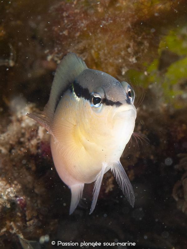 portrait poisson Komodo