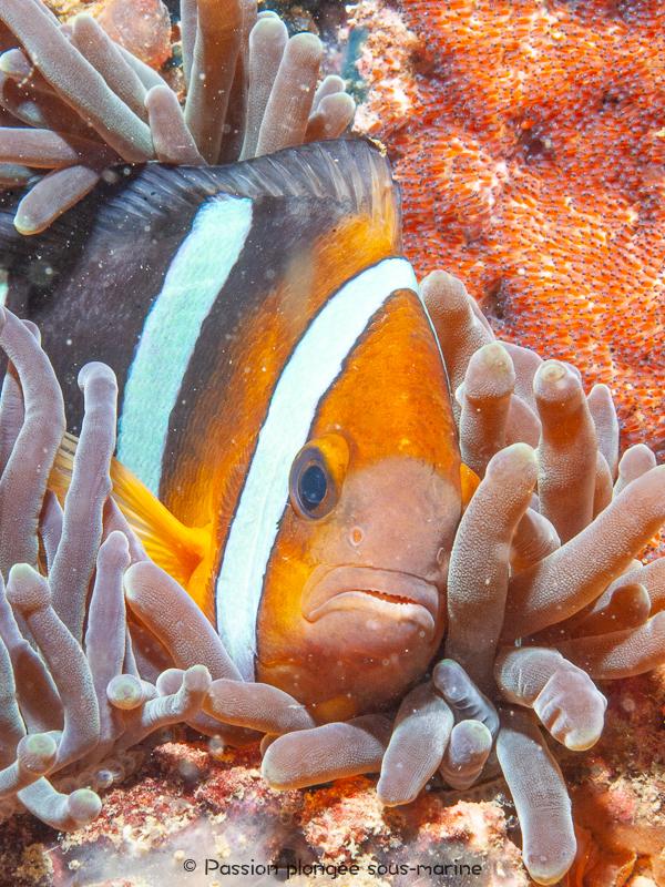 portrait poisson-clown plongée Komodo