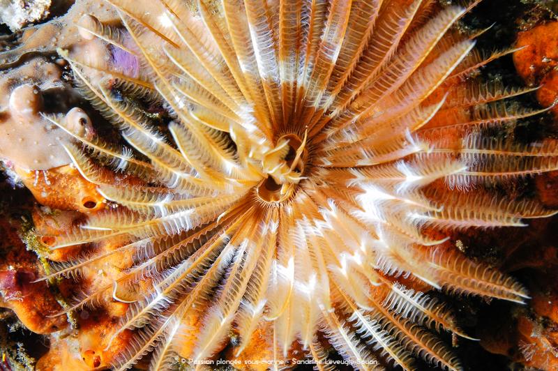 ver plumeau plongée Komodo