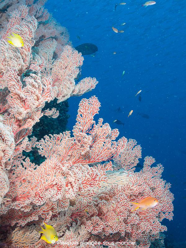 tombant plongée Komodo
