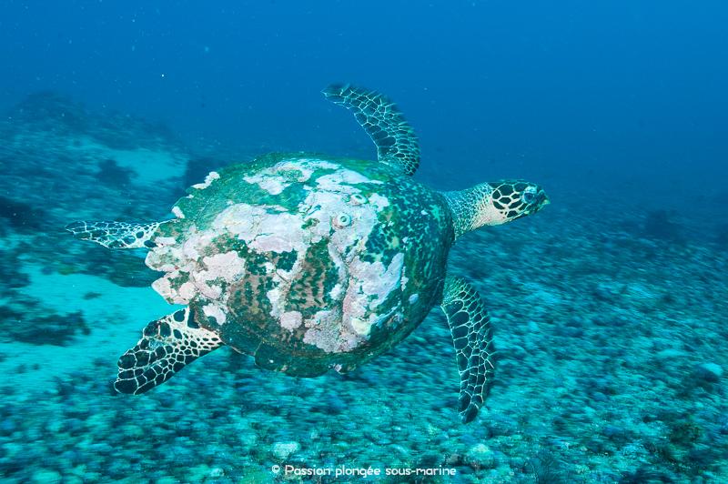 tortue plongée Komodo