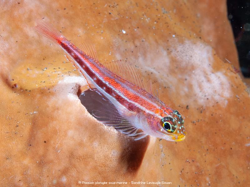 tryptérygion strié plongée Komodo