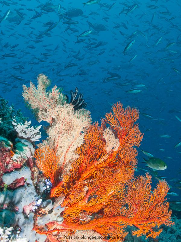 vie récifale plongée Komodo