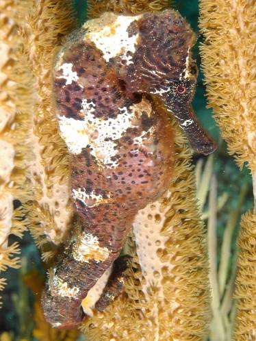 Hippocampe-Saba-1.jpg